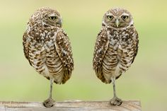 Burrowing Owls Side by Side at Cape Coral, Florida | by D200-PAUL