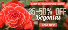 begonias - start indoors early for bigger blooms! http://www.hollandbulbfarms.com/items.asp?cat=Begonia-Bulbs&Cc=BEGONIAS
