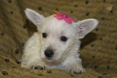 West Highland White Terrier Puppies For Sale In Shippensburg Pa.  http://www.network34.com/dogsbreed/west-highland-white-terrier-puppies-for-sale-pa-md-ny-nj-dc/