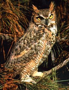 """Great Horned Owls may have the best facial expressions of any bird. Someone I know is taking care of a rescue """"horny,"""" and they are gorgeous up close."""