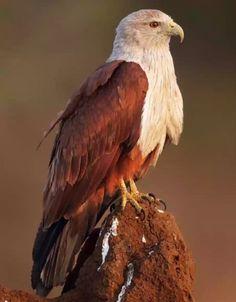 Raptor Bird Of Prey, Birds Of Prey, Exotic Birds, Colorful Birds, Raptors, Bird Barn, Barn Owls, Eagle Pictures, Bird Gif
