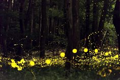Fireflies in the forest, Japan1