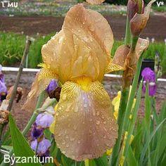 Byzantium   Historic Iris Preservation Society
