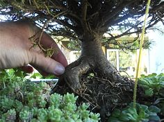 Miniature garden tree