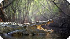 Alligator meaning and crocodile meaning is deep, ancient and rich with insight. Check out this page for totem information and symbolic meanings for these fascinating creatures.
