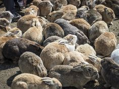 Do you know there's an island in Japan, which has around 700 rabbits. The name of the island is Okunoshima, located in Hiroshima. The rabbits are not scared of poeple so, you can even touch them. (All photo by uta: https://www.facebook.com/usagijima/)