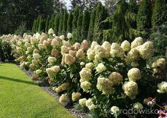 Hydrangeas and evergreens, would look beautiful behind our pool! Hydrangeas, Evergreen, Fence, Garden Design, Landscaping, Gardens, Backyard, Flowers, Outdoor