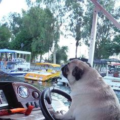 They casually hang out on yachts. | 16 Reasons Why Pugs Are The MF Thugs