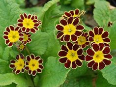 Primula elatior 'Gold Lace' is a semi-evergreen to evergreen perennial, growing up to 8 inches cm) tall, with rosettes of oval leaves. Colorful Flowers, Spring Flowers, Primrose Plant, Rockery Garden, Primroses, Low Maintenance Plants, Victorian Gold, Gold Lace, Rosettes