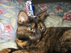 A smarties box on my tortoiseshell cat - credit to: swipurr.com