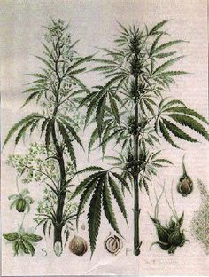 Growing and Harvesting Industrial Hemp Cannabis, Trees To Plant, Plant Leaves, Health Options, Plant Art, Cactus Plants, Weed, Farming, Blur