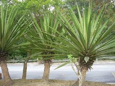 Agave angustifolia 'Marginata'