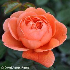 Pflanzen-Kölle Englische Rose 'Summer Song' (Austango) David Austin. Wunderschöne Englische Rose mit ungewöhnlicher Blütenfarbe und einem intensiven, sommerlichen Duft.