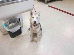 Siberian Husky Dog for adoption in Jurupa Valley, California - Dog