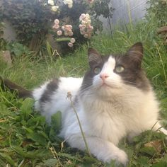 Garden/Flower #mollypetitcoeur #molly #chat #cats #catstagram #ilovemycat #pets #petstagram #ilovemypet #picoftheday #followme # cute #cuteness #sweet #lovely #pandacat #catofinstagram #cat_of_instagram #miaou #minou #meow #loveme #garden #flowers #roses #sun #nature