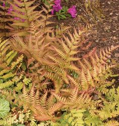 Brilliance Autumn Fern Dryopteris erythrosora 'Brilliance' Full to partial shade Water Needs: Needs wet or constantly moist soil. Average landscape size: Grows to 1 to 2 ft. tall and 18 in. Garden Trees, Garden Plants, Garden Bed, Autumn Fern, Ferns Care, Wood Fern, Types Of Ferns, Organic Soil, Organic Gardening