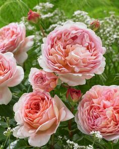 Abraham Darby, my most fragrant Old English rose!♥
