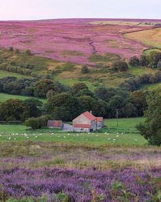 Heather on the moors at Hawnby - North York Moors National Park, England