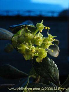 Image of Cissus striata (Voqui colorado). Click to enlarge parts of image.