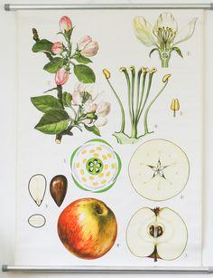 Botanical Chart, Apple Tree,