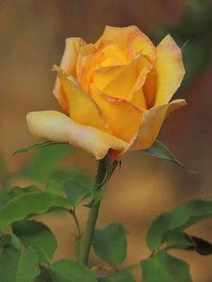 Rosa amarilla - Yelow rose