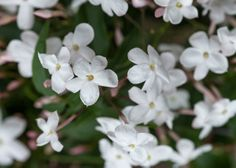 Buy scented Chinese jasmine (on a hoop) Jasminum polyanthum: Delivery by Crocus.co.uk