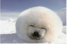 cute baby harp seals smiling - Google Search | animals ...