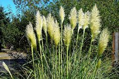 Oriental grasses are nice.  Large plums on these.