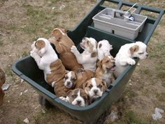 Q - What's more fun than a barrel of monkeys?  A - A wheelbarrel full of Bulldogs!