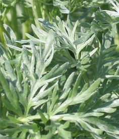 Wormwood Herb Benefits