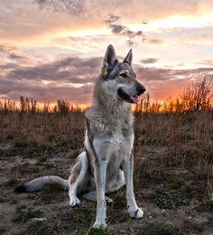 Czechoslovakian Vlcak  (Czechoslovakian wolf dog)