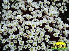 Saxifraga arendsii Alba, Vit rosenbräcka. Blommar rikt i maj - juni. Vintergrön. 15 cm.