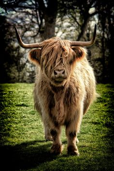 """Highland Cow at Scone Palace. """"Och Aye, Scotty, I just can't see nothin' !"""""""