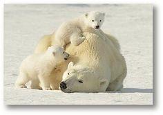 Polar bare family