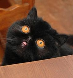 Very interesting post: Cats Pictures).сom lot of interesting things on Funny Cat. Baby Animals, Funny Animals, Cute Animals, Cute Cats And Kittens, Cool Cats, Kitty Cats, Exotic Shorthair, Look Into My Eyes, Outdoor Cats