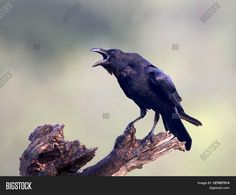 This image was sold today @Bigstock: Common raven sitting on a branch with open beak https://www.bigstockphoto.com/image-127027514/