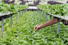 Welcome to Fresh Pots Farm - Australia's favourite ready-to-pick fresh potted herbs & blueberry plants. Hand-raised & ready for your kitchen-top. Blueberry Plant, Herb Pots, Kitchen Tops, Celery, Harvest, Herbs, Fresh, Vegetables, Plants