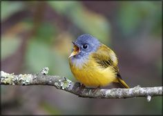 The Grey-headed Canary-flycatcher sometimes known as the Grey-headed Flycatcher (Culicicapa ceylonensis) is a species of small flycatcher-like bird found in tropical Asia./ By Sathish Poojari