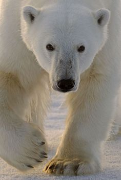 A polar bear (Ursus arctos maritimus) on pack ice, Svalbard, Norway. Picture: Andy Rouse / Rex Features