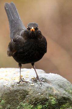 I love blackbirds. Their birdsong is my favourite.