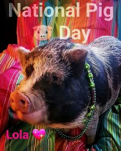 A new owners guide to everything miniature pig. Start here first.