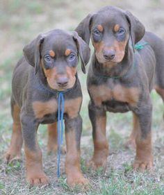 Doberman puppies                                                                                                                                                                                 More