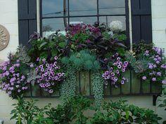 redbar kale, senecio, kalanchoe and silver dichondra, purple petunias and more via Flickr.