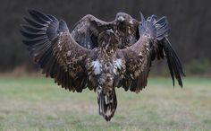 "Frontal Clash - And again a frontal clash between two juvenile White-tailed Eagles.  Wishing all of you a wonderful Sunday !!  ©<a href=""http://www.hewaph.com"">Harry Eggens</a>  Best regards,  Harry"