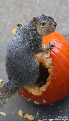 Happy Halloween! Enjoy all the pumpkins tonight & then consider these 5 ways to recycle them for wildlife.