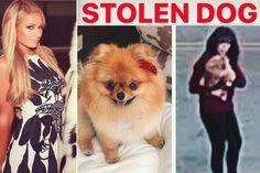 Momento en el que roban el perro pomerania a la amiga de Paris Hilton en su casa de Beverly Hills #pomeranian #þomerania #parishilton  #perro #perros #animales #animal #mascota #mascotas #noticia #noticias #schnauzi #dog #dogs #puppy