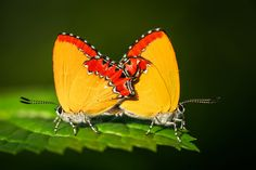 Butterfly Mating by EDEMIN RAMIREZ viewfinder image production on 500px