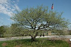 Downy hawthorn | The Morton Arboretum