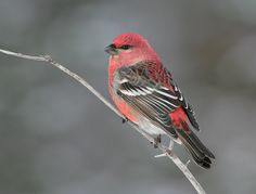 Pine grosbeak - They show up at the cottage sometimes