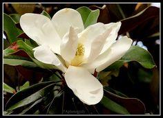 10 magnolia